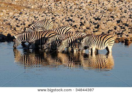 Zebras Drinking Water, Okaukeujo Waterhole