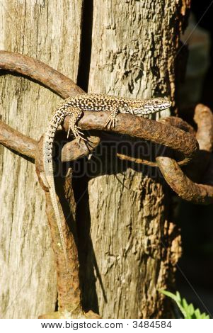 Basking Lizard In The Sun