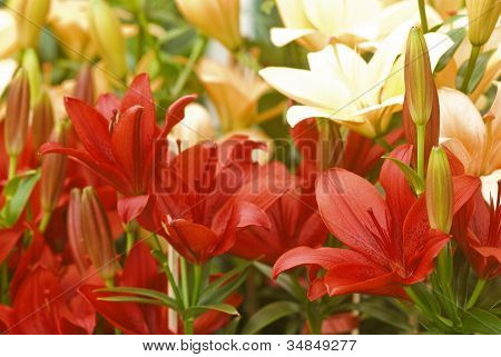 Colourful Lily Flowers