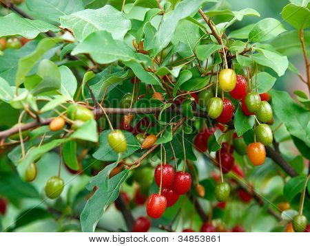 Cherry Silverberry Berries On Bush