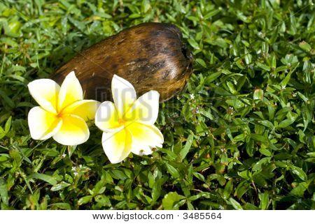 Coconut And Plumeria Blossoms
