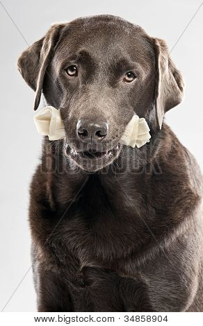 Chocolate Labrador with Rawhide Bone