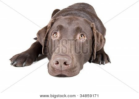 Chocolate Labrador Lying Down