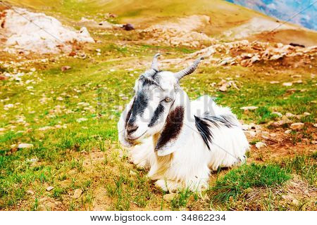 Goat lying on scanty mountainous grass