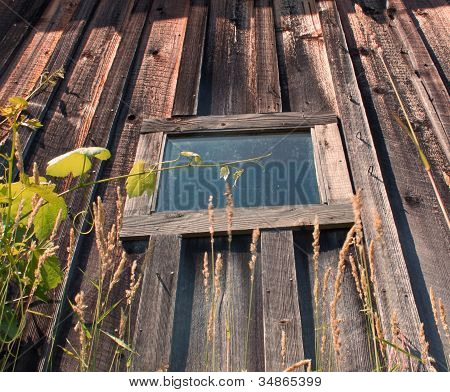 Old barn window with surrounding ivy.