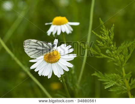 Green-veined White butterfly on chamomile flower