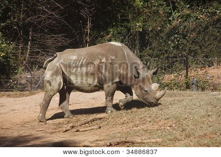 Rhino Grazing Up Hill