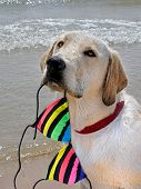 picture of string bikini  - Labrador retriever with striped bikini top in his mouth - JPG