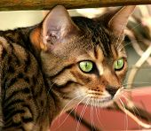 picture of tinkerbell  - the face of a bengali special breed kitten - JPG