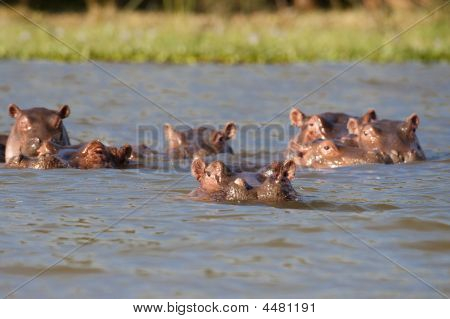 Hippos Resting In The Safety Of A Naivasha Lake