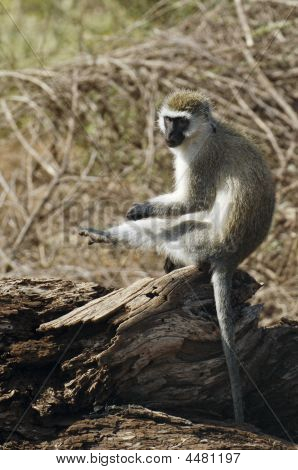 Grivet Monkey Scratching Leg While Sitting On Fallen Dead-tree