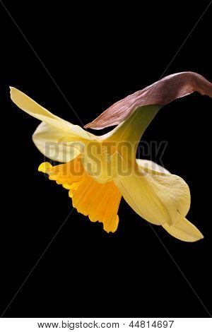 beautiful yellow daffodil, isolated on a black background