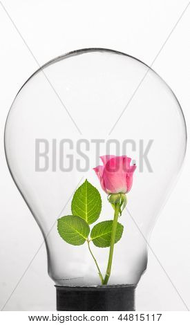 Rose inside light bulb against white background