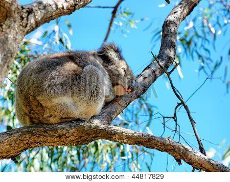Australian koala Bear perched in a gum tree