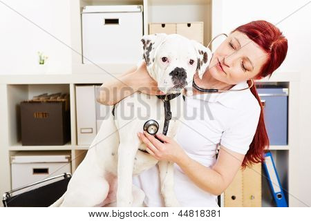 Veterinarian auscultating boxer dog with stethoscope in animal clinic