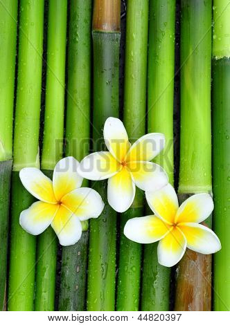 White frangipani flowers on green bamboo
