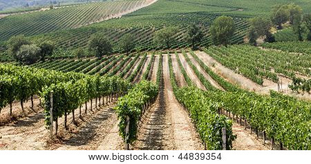 Vineyard In The Area Of ??production Of Vino Nobile, Montepulciano, Italy