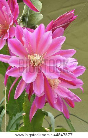 Epiphyllum Wendy
