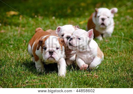 english bulldog puppies playing