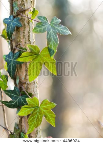 Ivy Leaves In Forest
