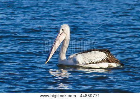 Pelican on blue water