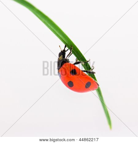 Ladybug on green grass over white