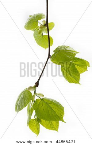 Spring branch of a lime tree on white background