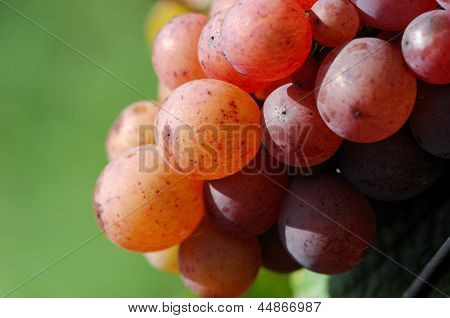 Colorful grapes in vineyard