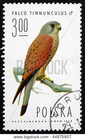 Postage Stamp Poland 1975 Common Kestrel, Falcon