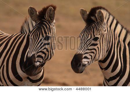 Burchells Zebra equus Burchellii