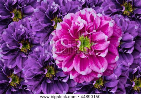 Pink Dahlia In Violet Background