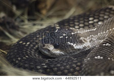 Mexican Black Tailed Rattlesnake, Crotalus Molossus Nigrescens