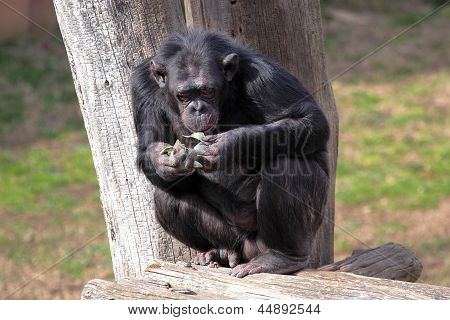 Chimpanzee (pan Troglodytes) Eating