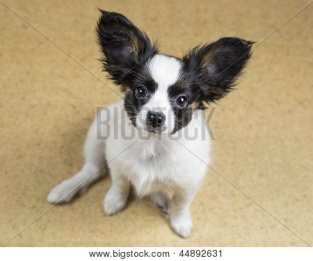 Cute Puppy Papillon Sitting