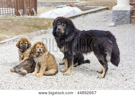 Hund Hunderasse Tibet-Dogge mit Welpen