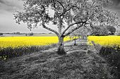 pic of rape-seed  - Shining yellow oilseed rape fields in a black and white landscape - JPG