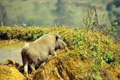stock photo of pot-bellied  - a pot bellied pig in the mountains near Sapa in Vietnam - JPG