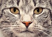 stock photo of pussy  - Cute cat face close up portrait - JPG