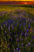 foto of bluebonnets  - Field of bluebonnets captured in golden Texas sunset light - JPG