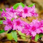 pic of azalea  - Pink azaleas blooming on bush in spring