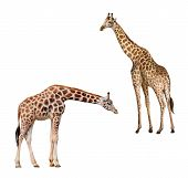 Two giraffes. Portrait of a giraffe isolated on white background