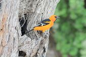 picture of mesquite  - Perched on trunk of Mesquite Tree in World Birding Center  - JPG