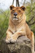image of lioness  - lioness portrait on a rock in a zoo - JPG