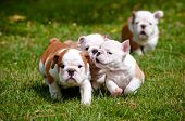 stock photo of cuddle  - english bulldog puppies playing outdoors in summer - JPG