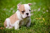 stock photo of fluffy puppy  - english bulldog puppy walking outdoors in summer - JPG
