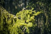 pic of backwoods  - Sunlit spruce tree branch in the backwoods - JPG