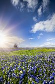 picture of sunflower  - Bluebonnets and sunflowers bathed in late afternoon Texas sunlight - JPG