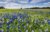 stock photo of bluebonnets  - Bluebonnets and sunflowers bathed in late afternoon Texas sunlight - JPG