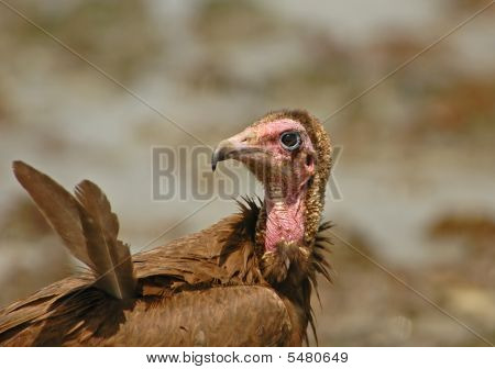 Hooded Vulture Close-up