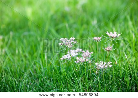 Caraway Is A Biennial Plant In The Family Apiaceae